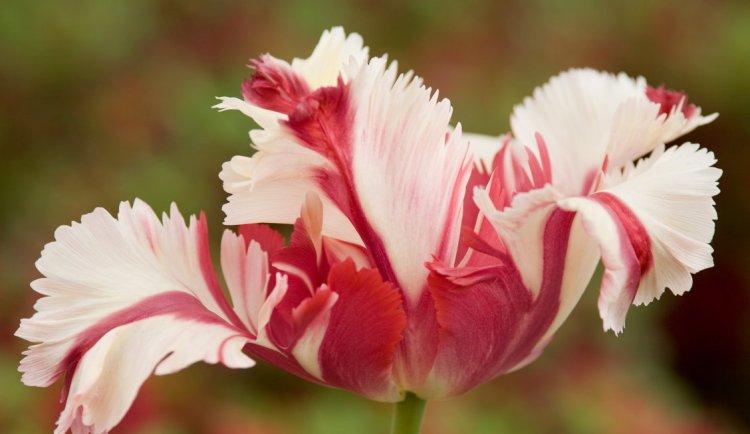 tulip large-001