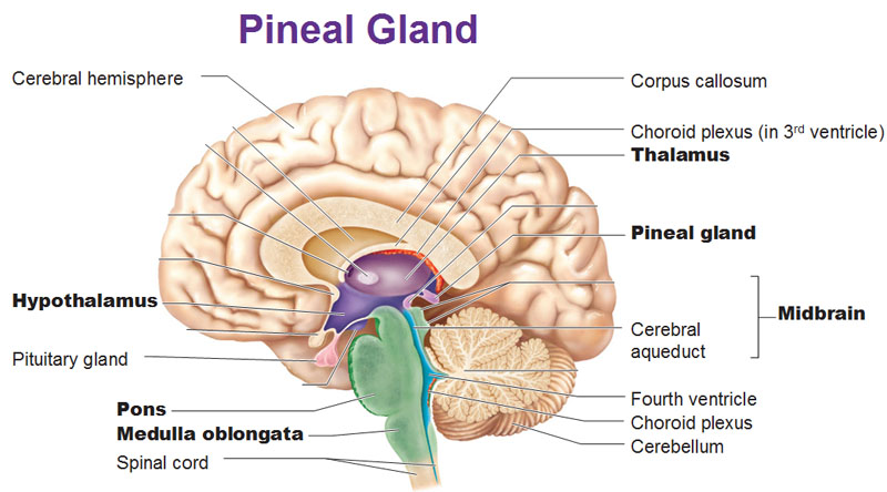 the pineal gland | 3rdeyevision, Human Body